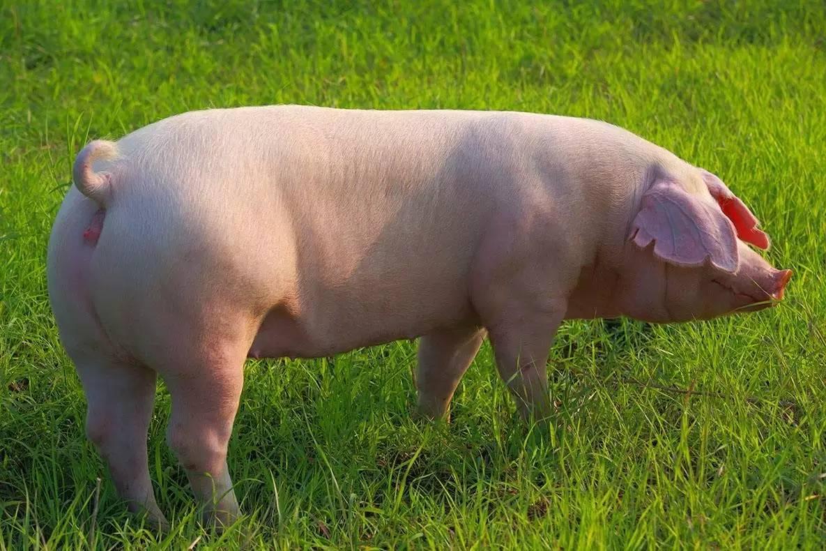 朔城区生态循环生猪产业项目开工