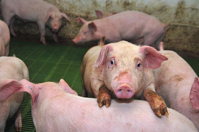 """春分丨猪高烧、咳嗽、腹式呼吸高发?正确的快速""""防治方案"""""""