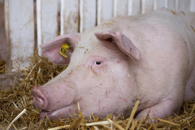 后备母猪的挑选及饲养管理要点介绍