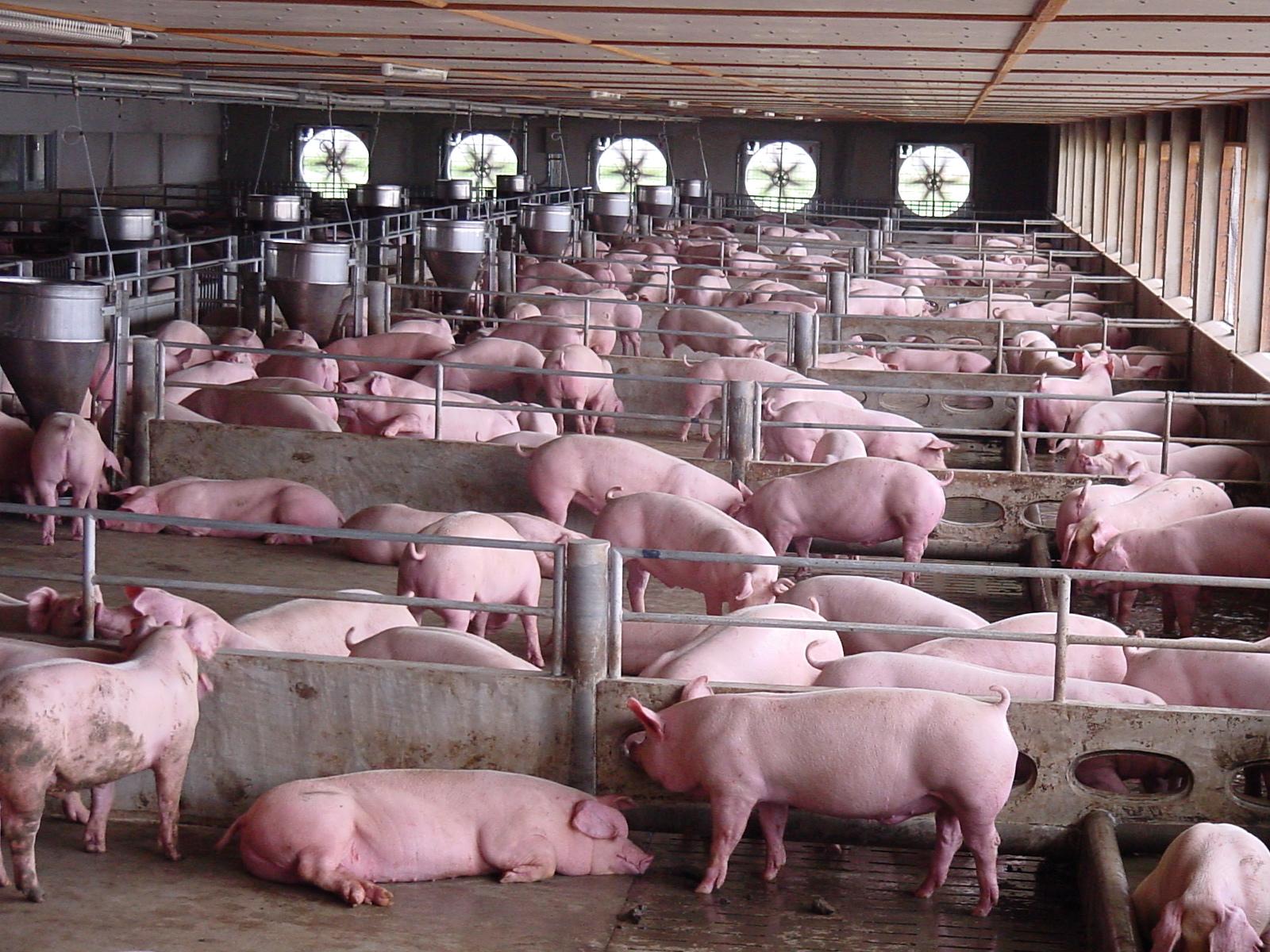 北美年出栏近20万头的繁殖场简明生产流程