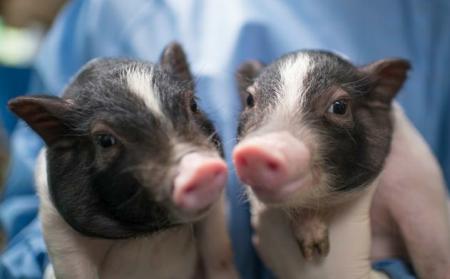 """关于仔猪""""三针保健"""",您真的非常了解么?"""
