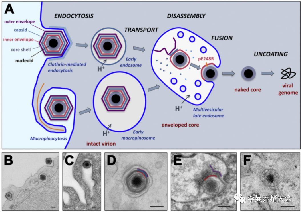 非洲猪瘟病毒进入细胞的方式对我们的启示