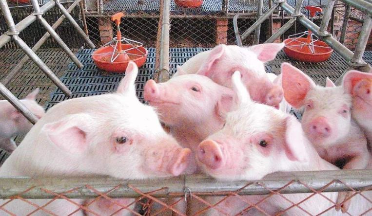 新冠病毒防控的启示,如何做好猪场生物安全