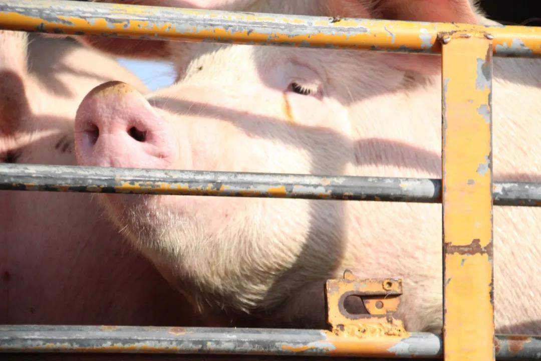 """广东工友说大口吃肉不容易,猪价下跌背后的""""反抗式消费"""""""