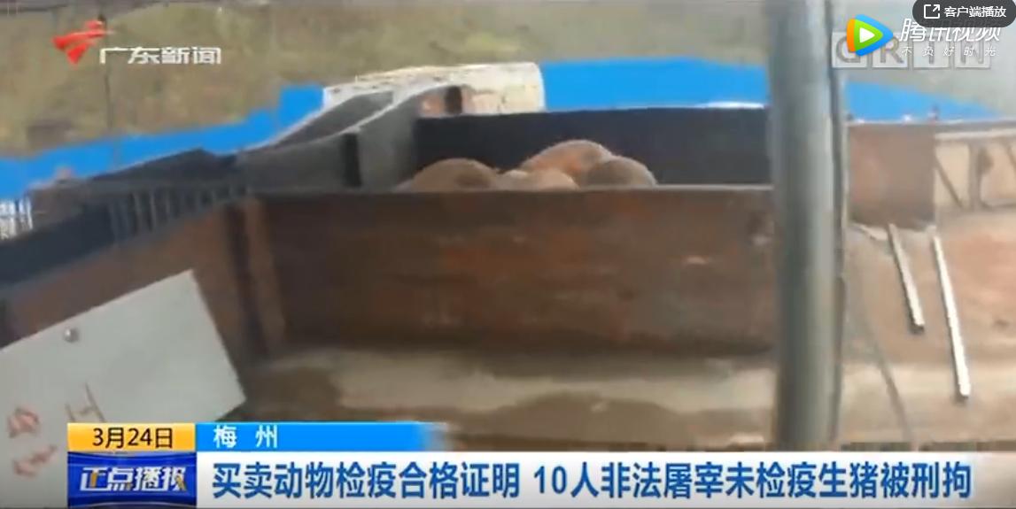 买卖动物检疫合格证明,10人非法屠宰未检疫生猪被刑拘