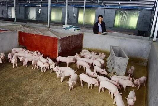 """""""猪农""""养猪有了财政补贴 他们还渴望什么?"""