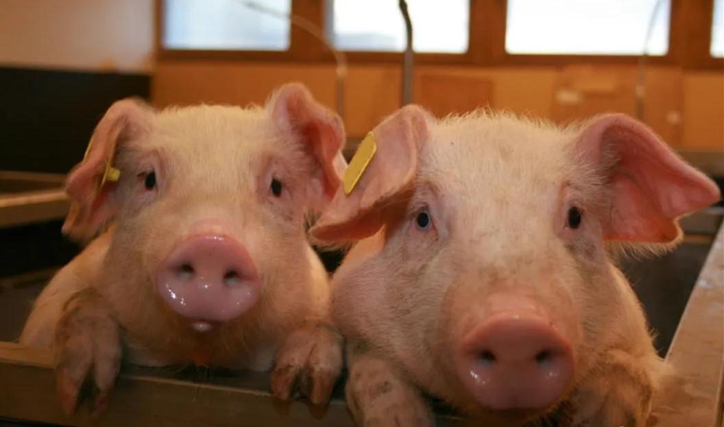 疯狂!一周内16家企业投400亿养猪,新建产能达1400万头