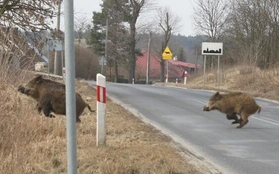 非瘟迫近德国,德波边境规模猪场首次发生非瘟疫情