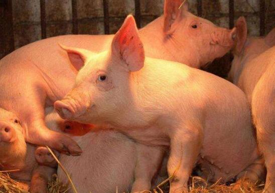 """经济再发达,也不能撇下一头""""猪""""!苏南多地将重振养猪业"""
