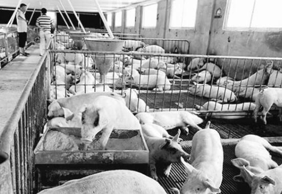 """""""二师兄""""满血复活,养猪业前景看好——玉林养猪企业复养成功"""