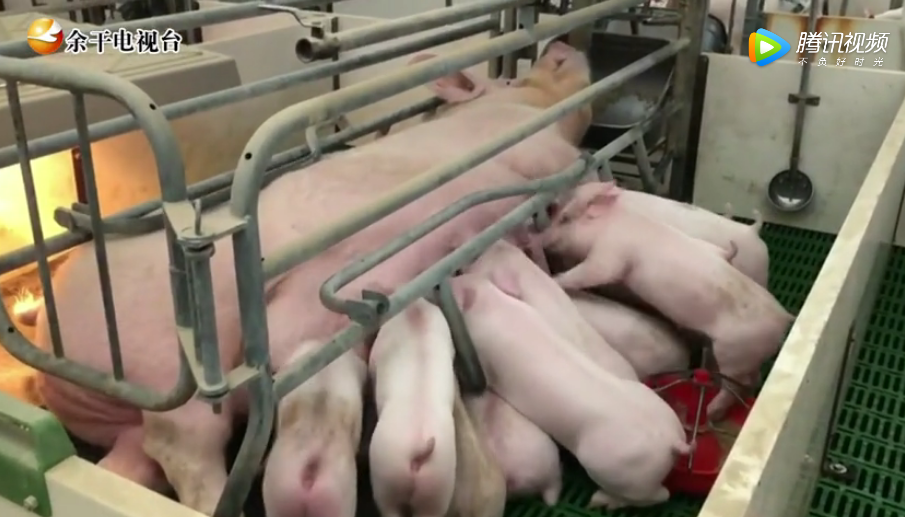 江西余干县二月份我县生猪生产形势继续向好