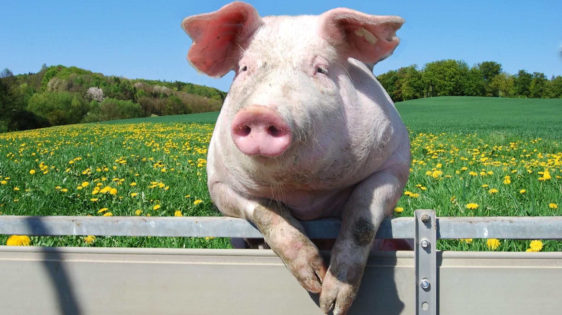 3月27日猪价,生猪产能未完全恢复,下跌只是暂时的,猪价高位难以撼动!