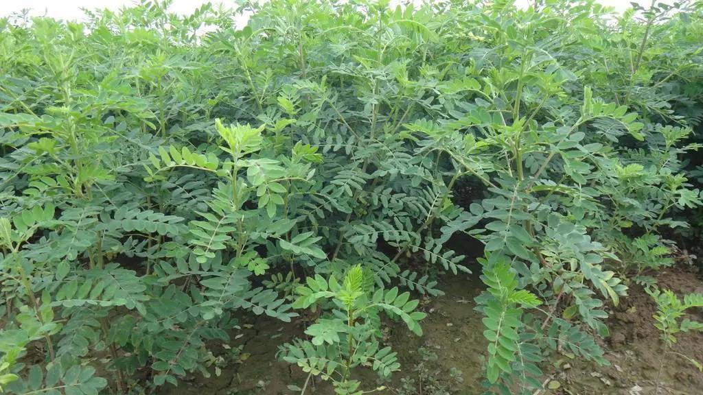 饲用中草药近期要有原料标准了,种植大户要注意抓住机会!