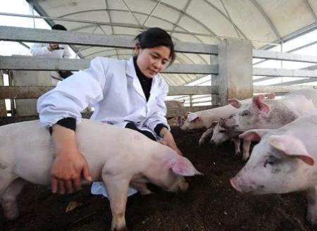 """""""川猪贷""""助推生猪养殖业发展"""