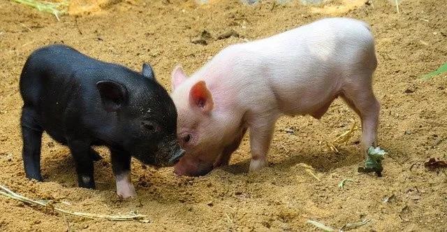 仔猪运输应激,如何减轻外购仔猪应激?