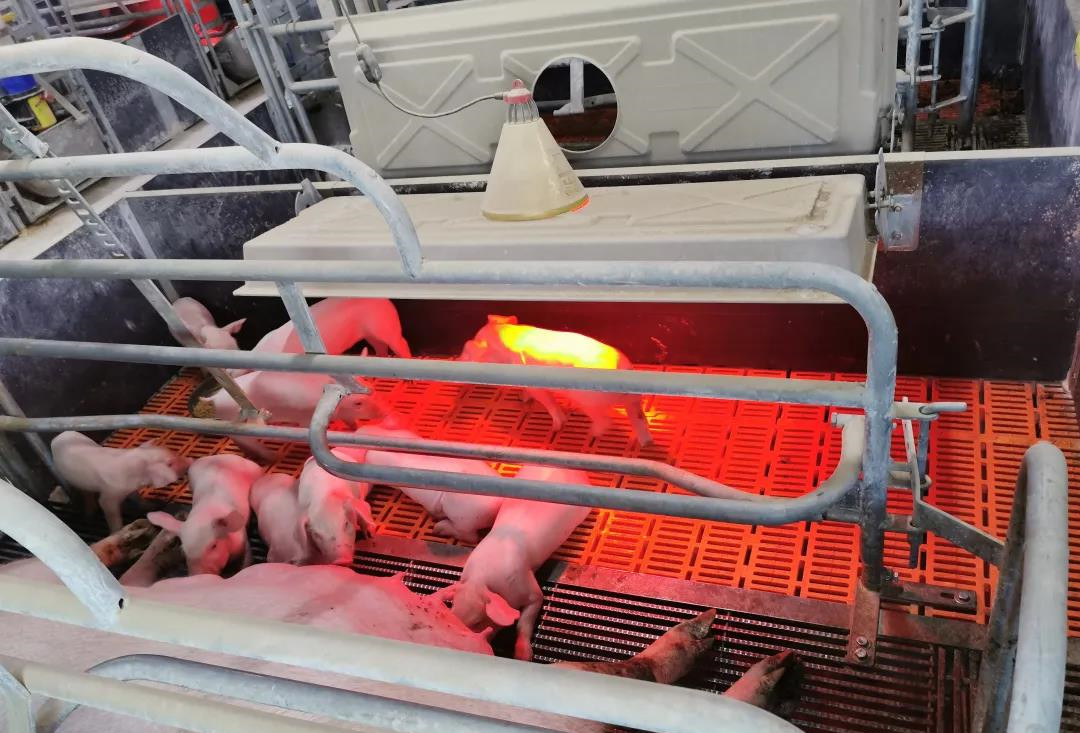 母猪分娩前准备之产房接产规范流程