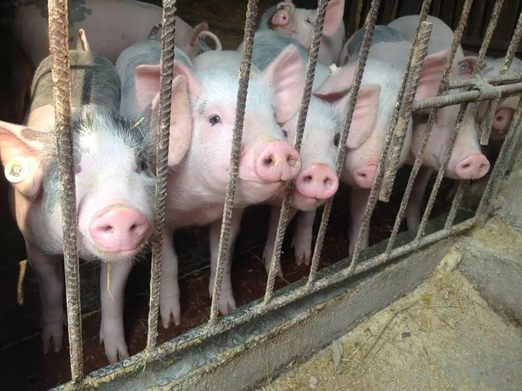 如给给猪喂药?给猪进行人工灌药的方法?