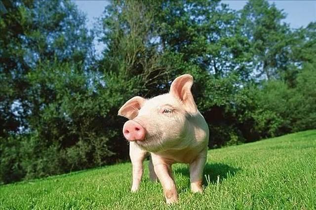 3月29日全国各省市20公斤仔猪价格报价表,20公斤外三元仔猪价格均价保持在50元每斤!