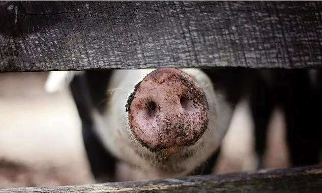 """""""养猪就是养肠道"""",你知道如何调理肠道吗?老兽医:请看这4点"""