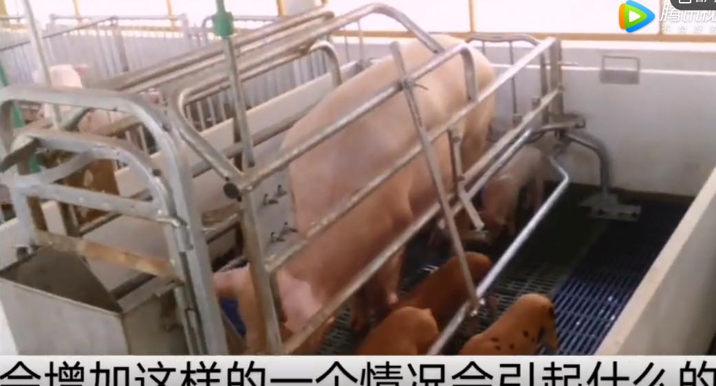 养猪技术:母猪配种后为什么要减少饲喂量?这点千万不能大意!