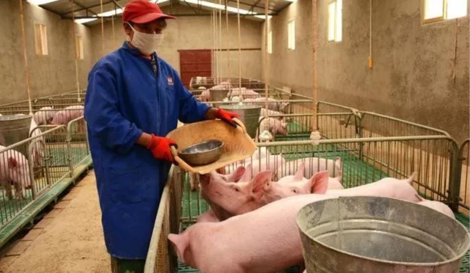一只螨虫的自述,看我怎么危害猪猪的健康!