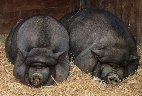 猪、粮安天下!太湖猪能否重振猪业?!