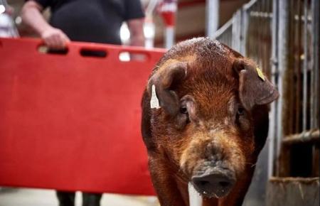 看看国外猪育种公司,种公猪采精前如何训练?