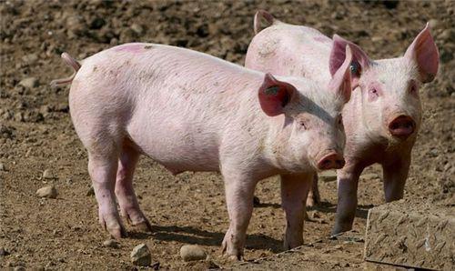 农业农村部:能繁母猪连续5个月回升,新冠肺炎疫情对生猪生产造成的影响正化解