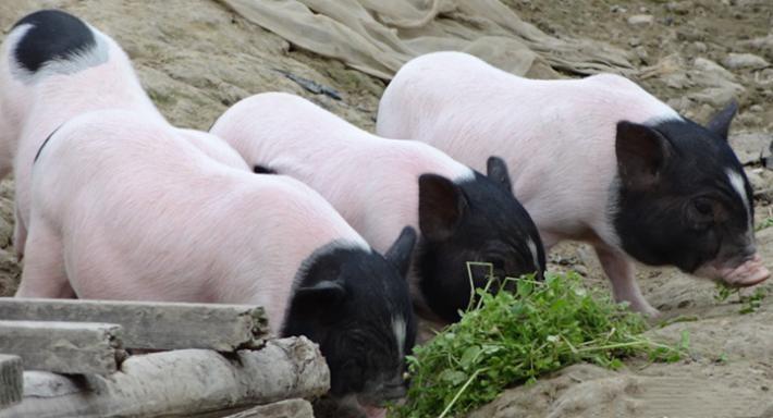 刚刚!湖南新邵一猪场遭政府拆除,距离养户收到书面通知仅一天