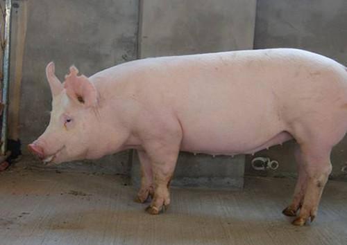 重磅!我国研究人员发现具有非瘟抗性的大白猪品种!