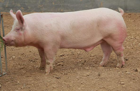 重磅!我国科学家发现唯一抗非洲猪瘟大白猪品种 阳性场成功复养超2700头!