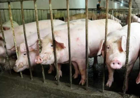 生猪减少致业务萎缩,动物疫苗龙头生物股份去年净利下滑70%