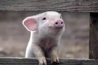 4月1日全国各省市10公斤仔猪价格报价表,市场需求量大,仔猪价格继续上涨!