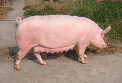 各种猪《养殖指南》!不会养猪的看过来,简单,易学。