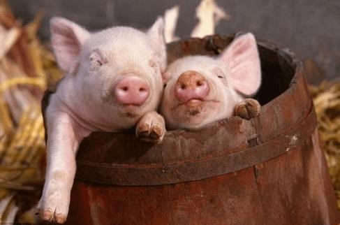 4月2日全国各省市10公斤仔猪价格报价表,受非瘟影响,仔猪价格暴涨!