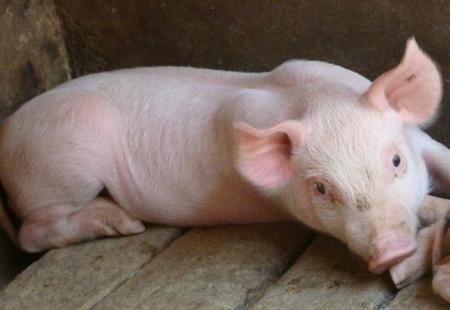 生猪养殖成村民致富新希望