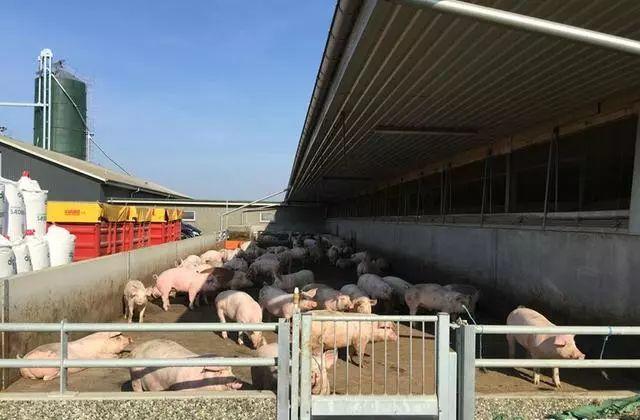 上市公司蜂拥养猪 产业爆发还是头脑发热