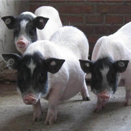 4月3日全国各省市20公斤仔猪价格报价表,山东各地区相差不大,均价约为100元/公斤!