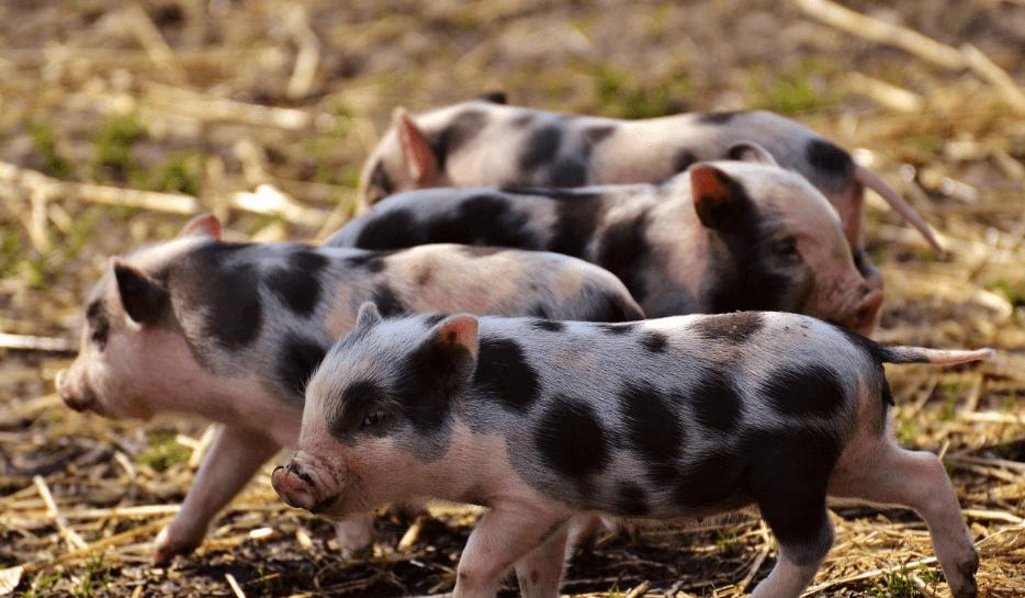 4月3日全国各省市15公斤仔猪价格报价表,湖北孝南15公斤外三元仔猪价格最高!