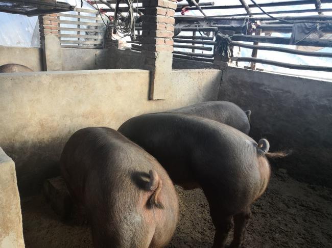 4月3日全国生猪价格土杂猪报价表,整体下跌逐渐平缓,有三地保持平稳!