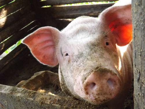 4月3日全国生猪价格外三元报价表,下跌态势有所放缓,有七省市小幅上涨!