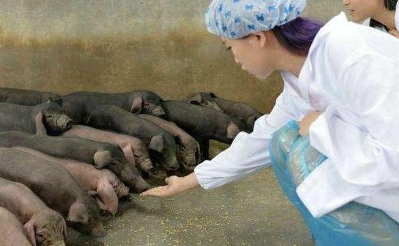 猪场防疫安全:防鼠害技术报告