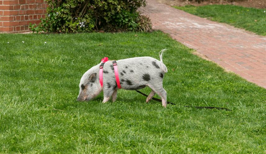 2天3起仔猪非瘟疫情!补栏风险大 上市猪企大量售出仔猪