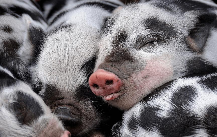 如果你这么想,三元母猪就养不成!