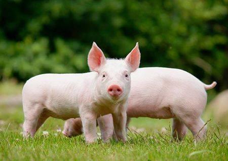 我市部署春耕生产和生猪发展工作 今年粮食作物面积将达409.6万亩