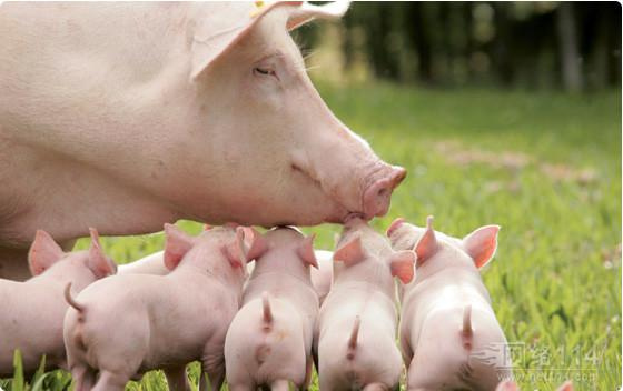 要想母猪多产仔,做好这几点就足够了!