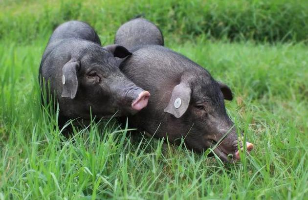 4月6日全国生猪价格土杂猪报价表,整体继续下跌,天津最为明显!