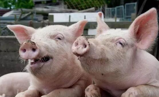 4月6日全国生猪价格外三元报价表,呈现下跌态势,但南方出现反弹!