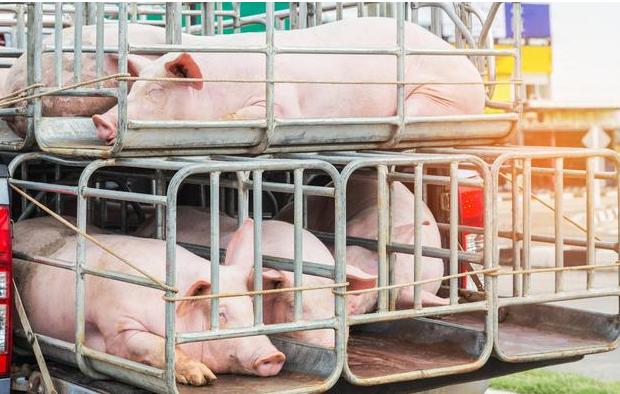 读懂2020年养猪业四大关键词,机遇和挑战面前,打上一场翻身仗
