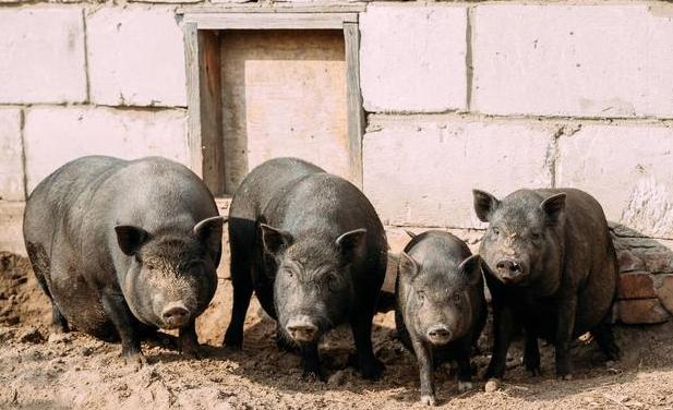 猪市走势:需求端拖累 新政出台 产销区养殖户莫慌!